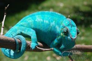 50-bluedream1
